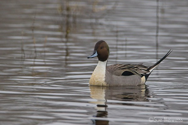 male northern pintail