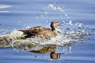 Mottled Duck on Lake Monroe, FL