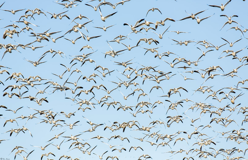 Snow Geese invasion
