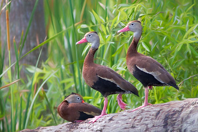 Whistling Ducks at Orlando Wetlands
