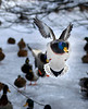 HOLLY PELCZYNSKI - BENNINGTON BANNER Ducks gather together in Bennington while one of them comes in for a landing on Thursday afternoon.