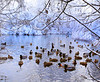 HOLLY PELCZYNSKI - BENNINGTON BANNER Ducks gather together in a snowy creek on Branch St. in Bennington on Wednesday morning.