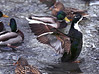 HOLLY PELCZYNSKI - BENNINGTON BANNER Ducks gather together in Bennington, while one of them fluffs it's feathers on Thursday afternoon.