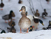HOLLY PELCZYNSKI - BENNINGTON BANNER A duck, waddles around surrounded by flying snow in Bennington on Thursday afternoon.