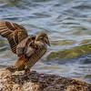 Common Eider - Ederfugl