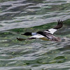 Common Merganser - Stor Skallesluger
