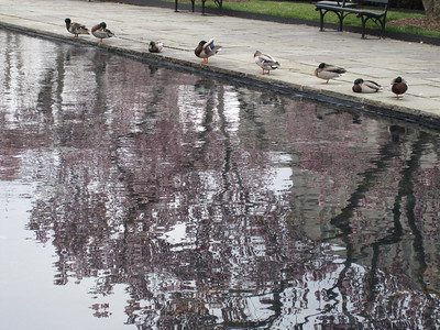 Ducks in a row. (Reflecting on poultry)
