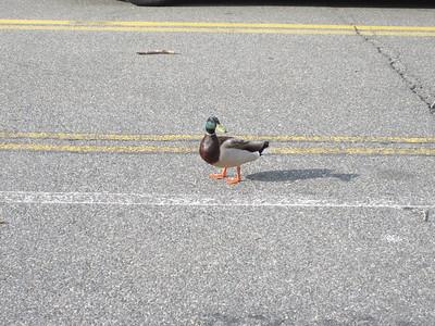 A real quackpot. (Almost dead duck)