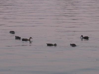 Ducks at Dusck (How 'bout a sundowner? Cold Duck? Strawberry Duckuiri? Marshtini?)