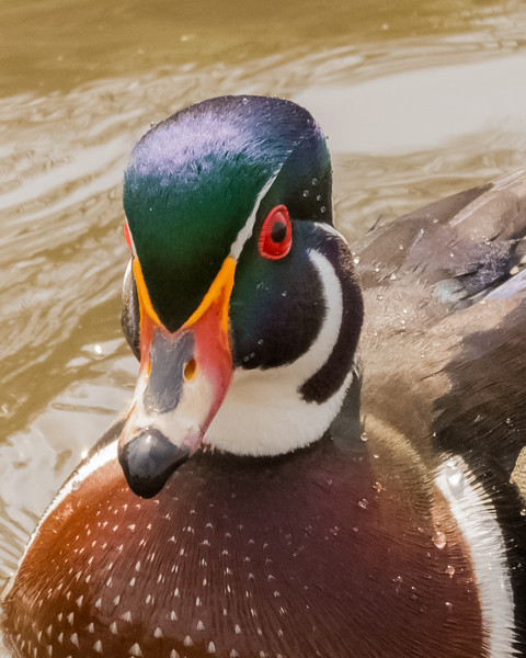 Wood Duck Up Close