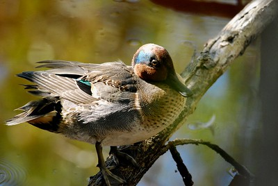 Green-winged Teal (male)