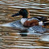 2015 12 04_birds  ducks_0490