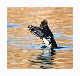 Hooded Merganser (Lophodytes cucllatus) Female