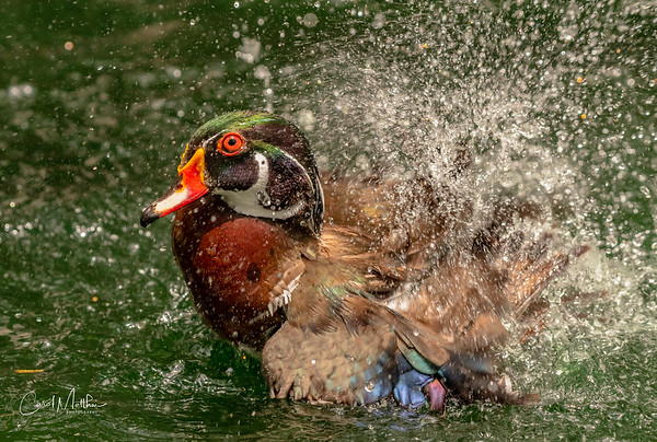 Wood duck fast splash-2