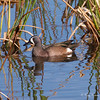 Blue-winged Teal at The Celery Fields, Sarasota, Fl