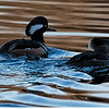 2015 12 04_birds  ducks_0484