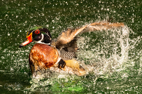 Wood duck fast splash-3