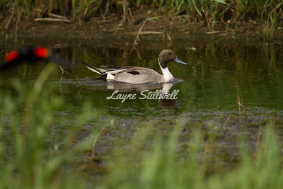 Northern Pintail with out of focus Redwing Blackbird