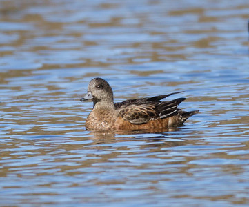 American Wigeon Laurel Ponds 2016 11 03-1.CR2