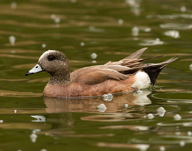 American Wigeon San Dieguito Park 2014 04 17-1.CR2
