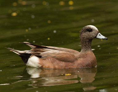 American Wigeon San Dieguito Park 2014 04 17-3.CR2