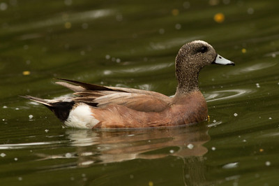 American Wigeon San Dieguito Park 2014 04 17-2.CR2