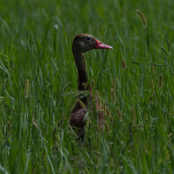 Black-bellied Whistling Duck Southeast Arizona 2011 08 21-1.CR2