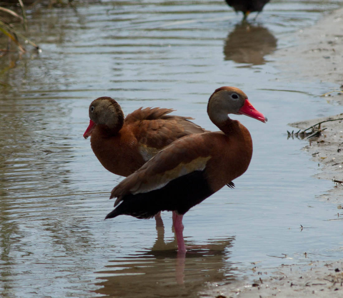 Black-bellied Whistling Duck   South Padre Island Texas 2012 03 21-2406.CR2