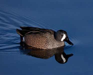 Blue-Winged Teal San Diego River 2011 1 26 -1-1.CR2