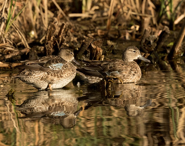 Blue-winged Teal  Aviara 2016 12 01-1.CR2