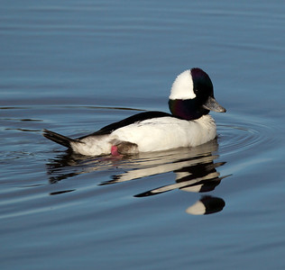 Bufflehead  San Elijo Lagoon 2014 03 03-8.CR2