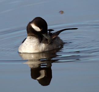 Bufflehead  San Elijo Lagoon 2014 03 03-3.CR2