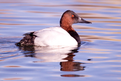 Canvasback Mammoth Lakes  2013 12 16-3.CR2
