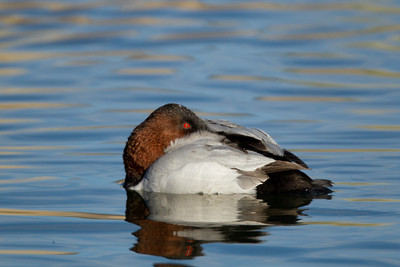Canvasback Mammoth Lakes  2013 12 16-2.CR2