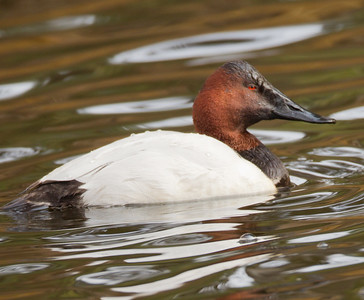 Canvasback San Dieguito Park 2013 01 04 (2 of 2).CR2