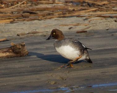 Common Goldeneye San Luis Rey River Oceanside 2012 01 20 (3 of 14)-2.CR2