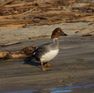 Common Goldeneye San Luis Rey River Oceanside 2012 01 20 (6 of 14).CR2