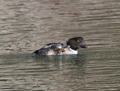 Common Goldeneye Mammoth Lakes 2018 11 15-2.CR2