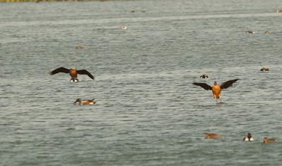 Fulvous Whistling Duck Aransas County Texas 2012 3 19 (1 of 1).CR2
