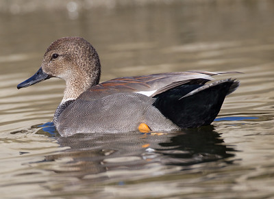 Gadwall Buccaneer Park Oceanside 2018 01 21 (6 of 5).CR2