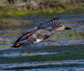 Gadwall  San Elijo Lagoon 2011 11 03 (1 of 2).CR2