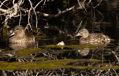 Green-winged Teal Mammoth Lakes 2021 08 02-2.CR3