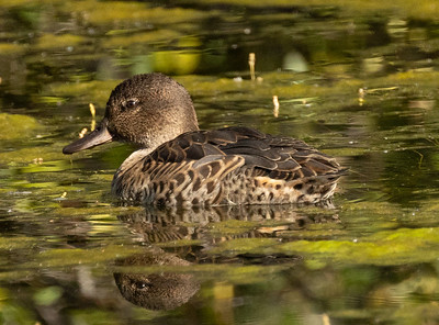 Green-winged Teal Mammoth Lakes 2021 08 02-1.CR3