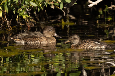 Green-winged Teal Mammoth Lakes 2021 08 02-3.CR3