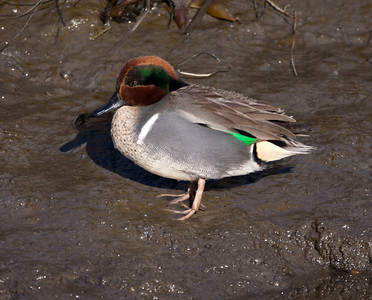 Green-winged Teal San Elijo Lagoon 2011 01 25-2-2.CR2