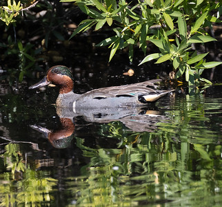 Green-winged Teal Mammoth Lakes 2021 06 19-216.CR3