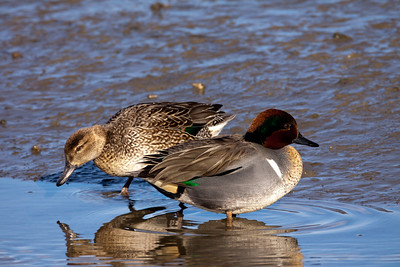 Green-winged Teal San Elijo Lagoon 2011 01 25-6-2.CR2