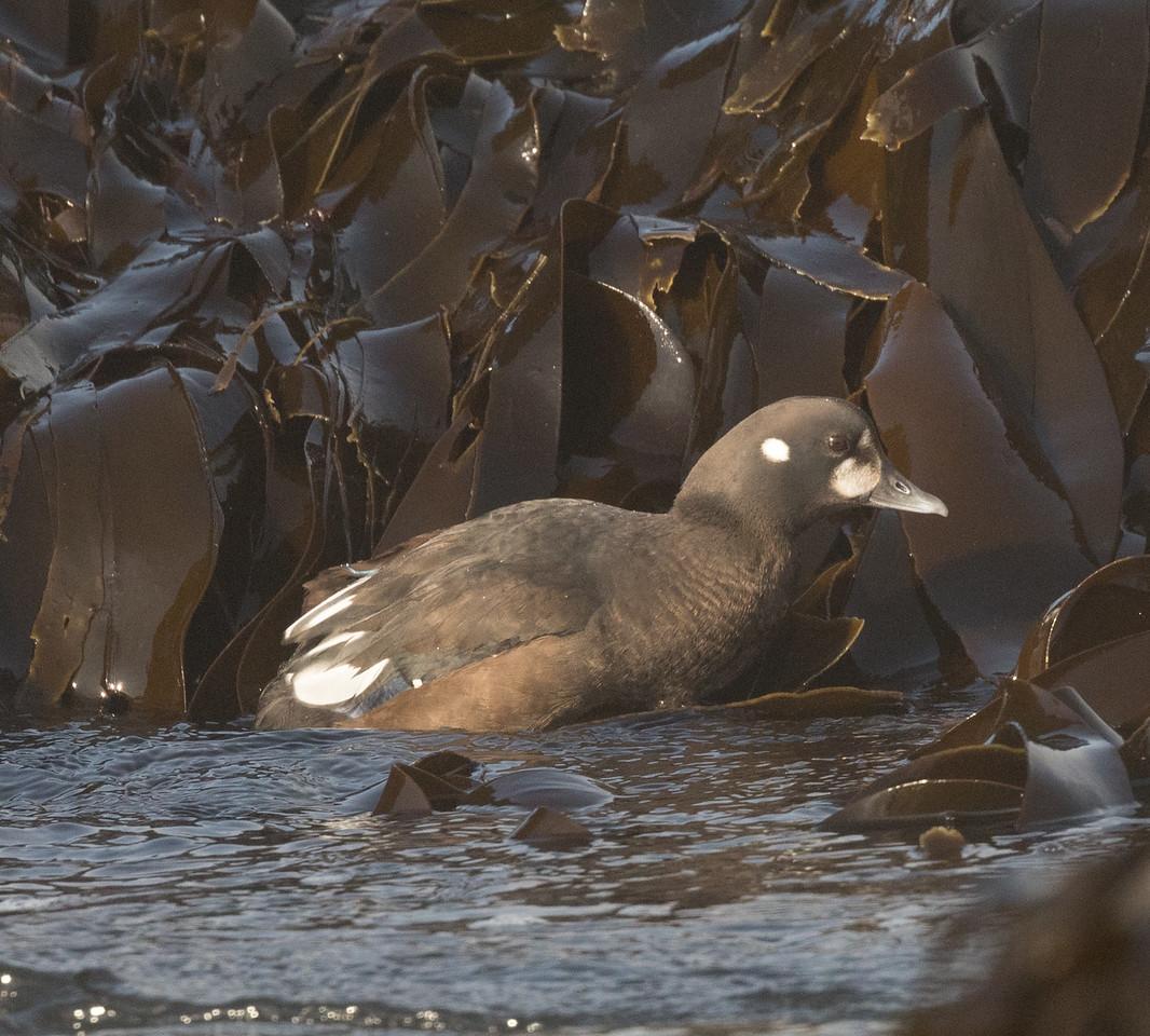 Harlequin Duck Cannon Beach Oregon 2017 08 22-3.CR2