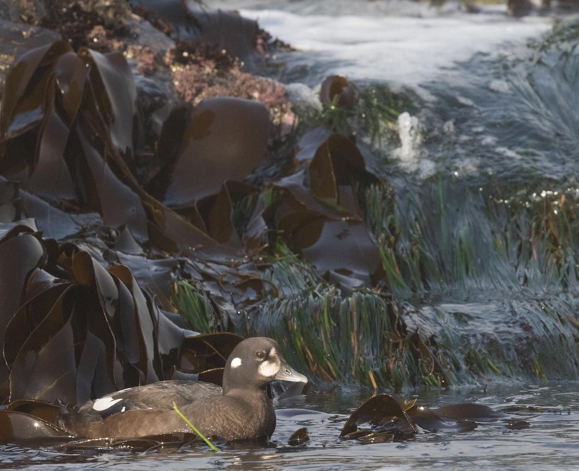 Harlequin Duck Cannon Beach Oregon 2017 08 22-5.CR2
