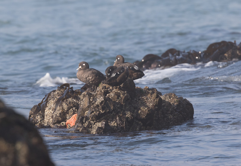 Harlequin Duck Cannon Beach Oregon 2017 08 22-2.CR2